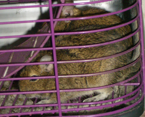 two degus hiding under the exercise wheel