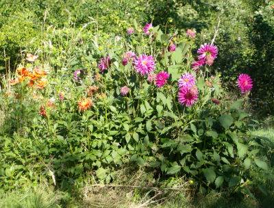 dahlias, not as full as usual this time of year