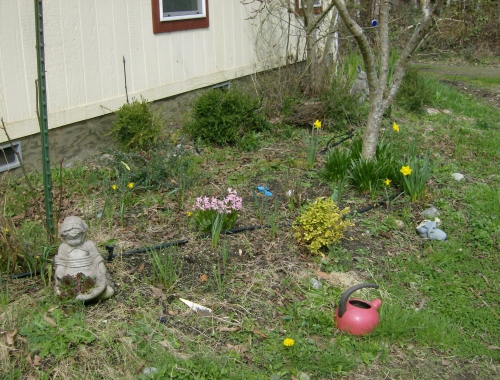 the front garden showcases the pink hyacinths and daffodils