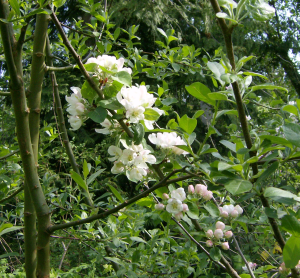 Apple blossoms on the other stidkid\'s tree