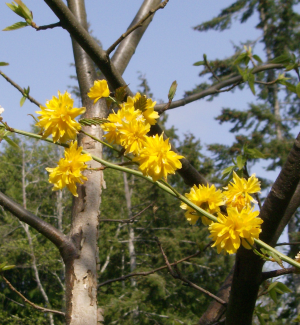 golden blooms, against grey bark and blue skies