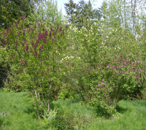 Purple lilacs, white elderberries -- spring party!