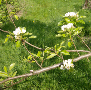 The pear blossoms on the stidkid\'s tree...