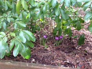 Spring Crocuses under a shrub