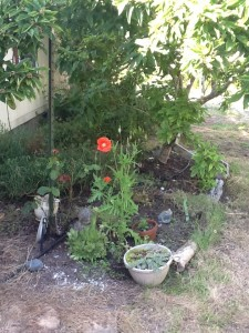 red poppy with white stamens near front door