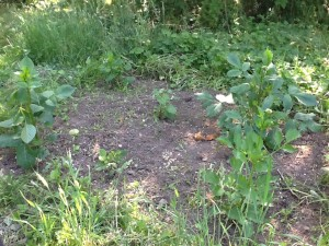 bare patch of soil with six dahlias