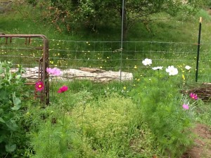 cosmos and chickweed