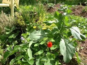 edible flowers in the veggie garden