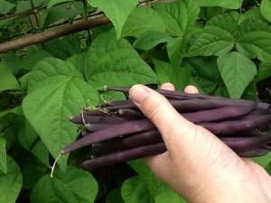 Purple beans, freshly picked