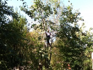 grant in the tree, about 25 feet up, balancing on a branch to cut a section down