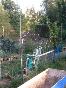 garden with harvested squash in a line, kale and cosmos, and chairs to sit in