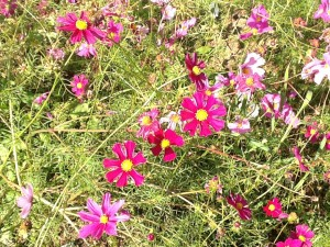 pink and purple cosmos, jumble of foliage