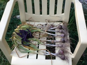 7 heads of garlic drying after harvest with a handful of green and purple beans on top