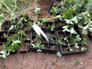 young plants in pots and flats ready for transplanting