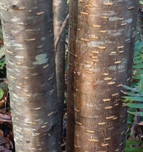 reddish-brown shiny bark with golden lenticels and light gray spots of thin lichen