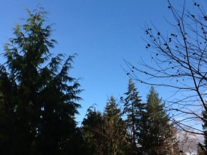 Blue sky with cedar on the left and chestnut branches on the right