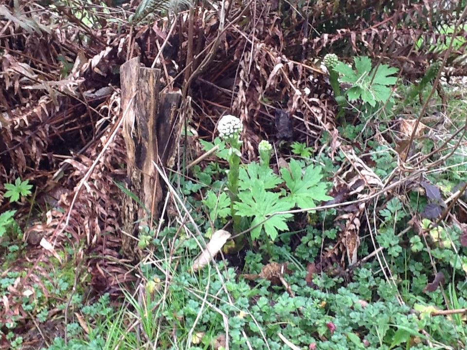 under the ferns and the elderberries, petasites palmatum (butterbur) appears again