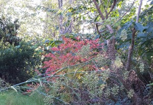 Yes, the bright red leaves are the blueberry!  It was LOADED this year, but the birds got them.  Next year...