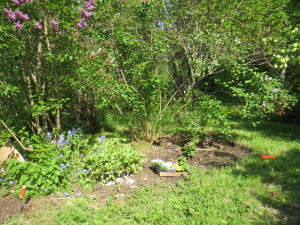 Fish pond and lilacs, after weeding but before planting new annuals.
