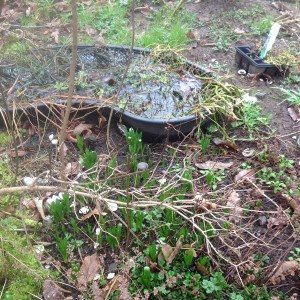 fish pond with bulbs next to base of lilac