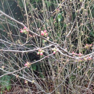 quince japonica with bright pink buds
