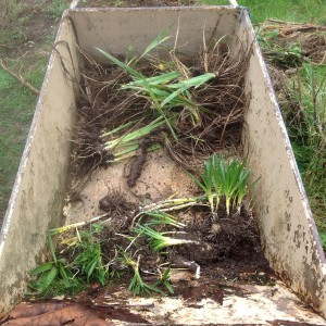 salvaged hyacinths and irises in wheelbarrow