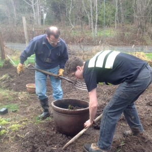 filling a pot with comfrey plant